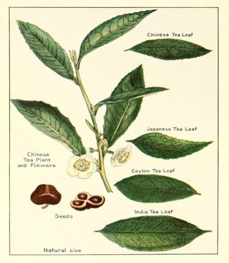 Painting of tea leaves