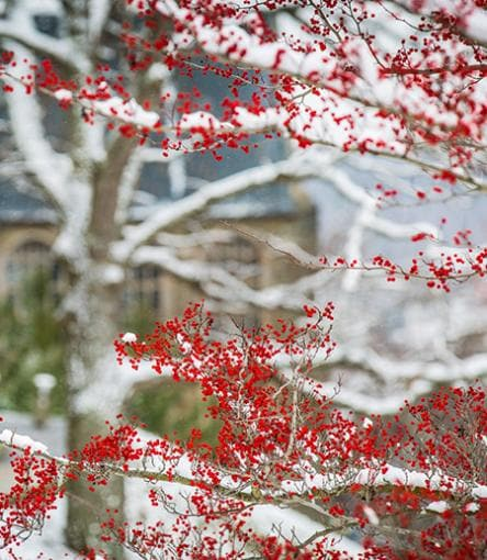 Red berries on a winter tree